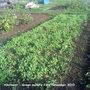 Allotment Green manure 2010-11-23