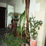 Cycas revoluta (Japanese Fern Palm)