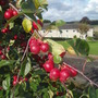 Malus 'Gorgeous' (Malus 'Gorgeous')