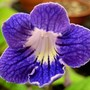 Streptocarpus &#x27;Franken Border Line&#x27; x seedling (Streptocarpus)