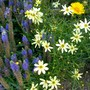 Coreopsis 'Moonbeam' with Veronica 'Royal Candles' (Coreopsis verticillata (Tickseed))