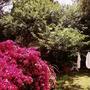 Bougainvillea in back garden