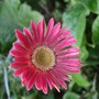 Another Gerbera! (Gerbera)