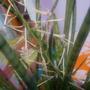 Sansevieria cylindrica.