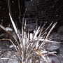 """Phormium """"Chocolate Dreams"""" with a white coating."""