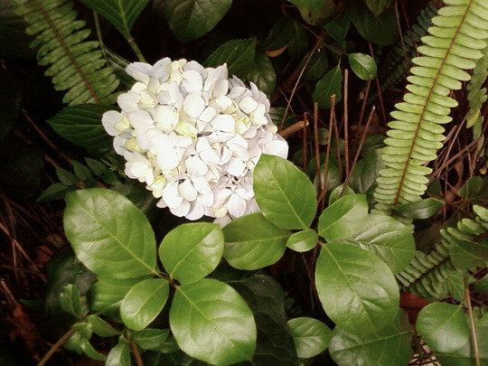 Another hydrangea along the wall