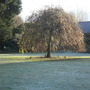 Weeping ash lawn