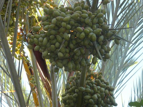 Phoenix dactylifera - Date Palm Fruits (Phoenix dactylifera - Date Palm)