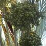 Phoenix dactylifera - Date Palm
