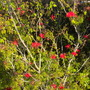 Calliandra tweedii - Trinidad Flame Bush, Brazilian Flame Bush (Calliandra tweedii - Trinidad Flame Bush, Brazilian Flame Bush)