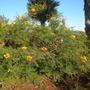 Caesalpinia gilliesii - Bird-of-Paradise Shrub (Caesalpinia gilliesii - Bird-of-Paradise Shrub)