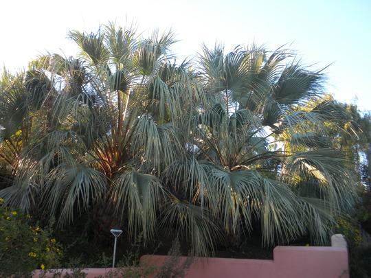 Brahea armata - Mexican Blue Palms (Brahea armata - Mexican Blue Palms)