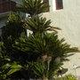 Cycas revoluta - Sago Palm (Cycas revoluta - Sago Palm)