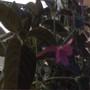 monkey plant bloom (Ruellia makoyana)