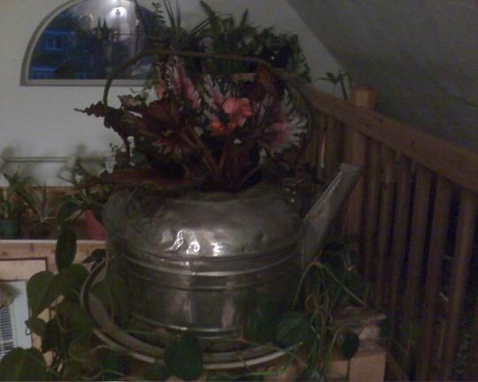 night begonia