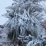 Cordylines take a battering again! (Cordyline australis (New Zealand cabbage palm))