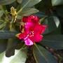 A garden flower photo (Rhododendron Nova Zembla)
