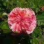 Duchess of Cornwall Rose