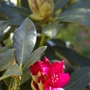 A garden flower photo (Rhododendron Nova Zembla)