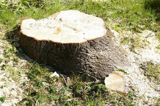 Stump (Acer pseudoplatanus)