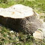 Stump (Acer pseudoplatanus)