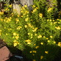 Tagetes lucida - Spanish, Mexican Terragon (Tagetes lucida - Spanish, Mexican Terragon)