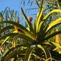 Aloe barberae (Aloe bainesii) - Tree Aloe (Aloe barberae (Aloe bainesii) - Tree Aloe)