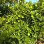 Citrus 'Bearss Lime' - Bearss Lime, Persian Lime, Tahitian Lime (Citrus 'Bearss Lime')
