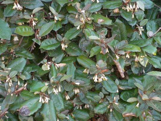 Elaeagnus pungens 'Fruitlandii' - Fruitland Silverberry (Elaeagnus pungens 'Fruitlandii' - Fruitland Silverberry)