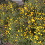 Tagetes lemmonii - Lemmon&#x27;s Marigold, Shrub Marigold (Tagetes lemmonii - Lemmon&#x27;s Marigold, Shrub Marigold)