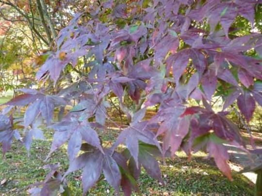 Bodnant Autumn Colour 043