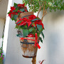 Hanging Poinsettia (Poinsettia)