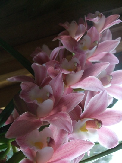 New Cymbidium 1. (Cymbidium)