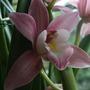Pink_c._flower