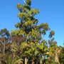 Fishtail Palm (Caryota urens), Norfolk Island Palms (Rhopalostylis baueri) in Balboa Park, San Diego, CA. (Fishtail Palm (Caryota urens), Norfolk Island Palm (Rhopalostylis baueri))