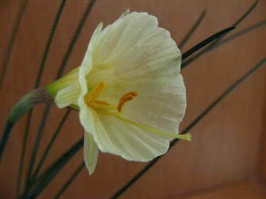 Narcissus bulbocodium Taffeta