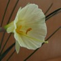 Narcissus bulbocodium Taffeta