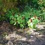 Trillium gracile