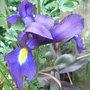Iris_xiphium_purple_form