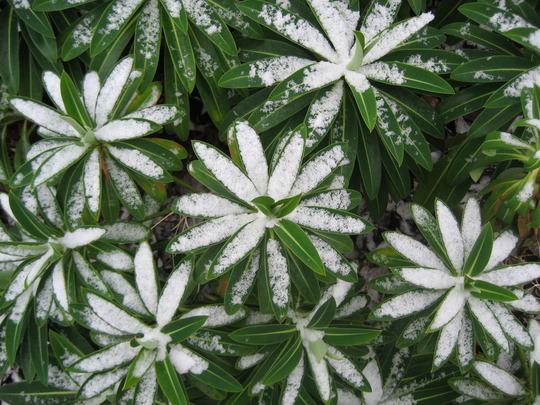 Euphorbia (Euphorbia)