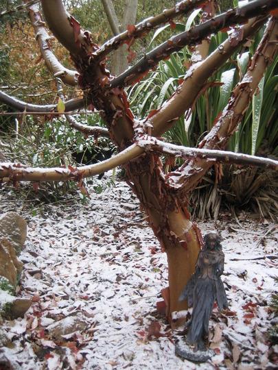 Acer griseum and fairy! (Acer griseum (Paper-bark maple))