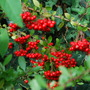 Laden Pyracantha