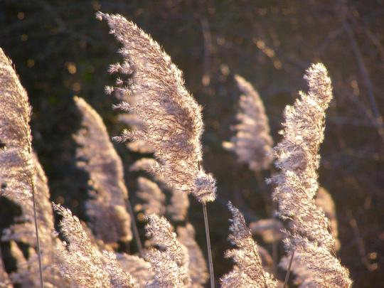 Reeds in winter sunlight