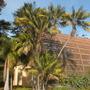 Howea fosteriana  - Kentia Palms on side of the Botanical Building (Howea fosteriana  - Kentia Palm)