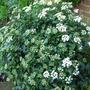 Viburnum (Viburnum tinus 'Eve Price')
