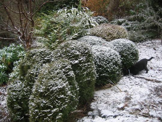 winter 020 (Buxus latifolia)