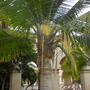 Ravenea rivularis - Majesty Palm Blooming (Ravenea rivularis - Majesty Palm)