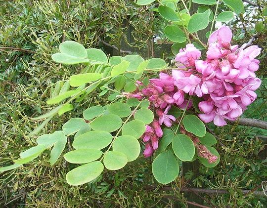 Robinia hispida (Robinia hispida)