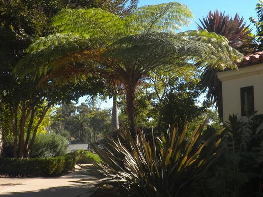 Cyathea cooperi (Sphaeropteris Cooperi) - Australian Tree Fern (Cyathea cooperi (Sphaeropteris Cooperi) - Australian Tree Fern)