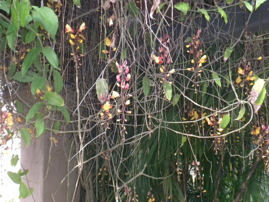 Thunbegia mysorensis - Clock Vine (Thunbegia mysorensis - Clock Vine)